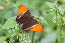 Butterfly-3794c
