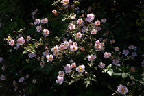 Herbst-Anemonen und Licht by lorenzo-fp