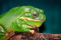 Giant Frog - Litoria Infrafrenata by Paulo Zerbato