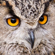 European Eagle Owl von David Pringle