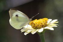butterfly by melahat kizil