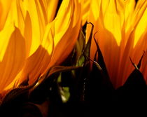 Fiery-sunflowers-copy-3