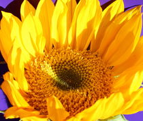 Yellow Sunflower 2 by Kume Bryant
