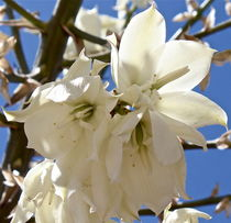 Yucca Flowers by Kume Bryant
