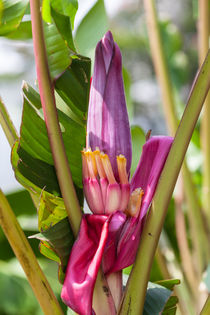 pink Banana flower von Craig Lapsley