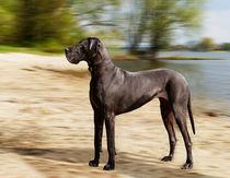 Deutsche-dogge