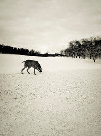 Sniffing in the snow by Lars Hallstrom