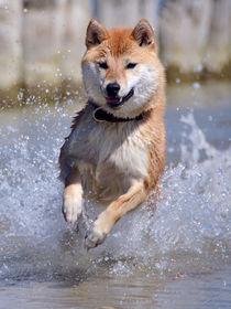 Shiba fliegt über Wasser III by Ulrich Karlowski