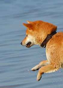 Shiba fliegt über Wasser I by Ulrich Karlowski
