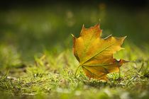 Maple leaf by sylbe
