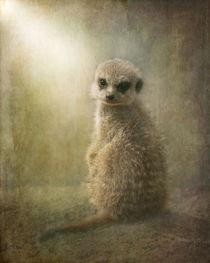 Baby-meercat