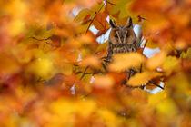 Long-eared-owl-pd