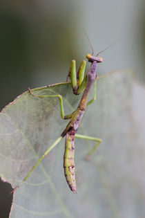 preying mantis hunting von Craig Lapsley