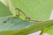 praying mantis stalking prey von Craig Lapsley