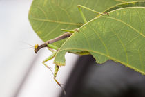 praying mantis stalking von Craig Lapsley