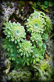 Green Alpine Rosettes by Colin Metcalf
