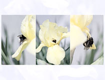 Iris and a Bumblebee Triptych by olgasart