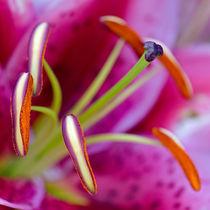Oriental Lily, Macro by Keld Bach