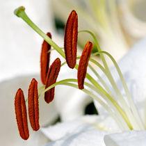 White Lily, Macro by Keld Bach