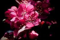 Spring in Pink von Milena Ilieva