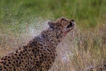Mara-cheetah-nass-2012