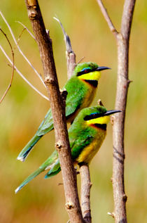 Cinnamon-chested Bee-eater by Pravine Chester