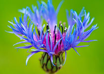 Cornflower by Keld Bach
