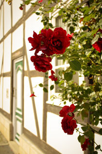 Red Roses by sylbe