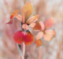 Orange Iris by Christine Fitzgerald