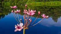 Flowering Rush by Keld Bach