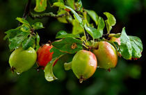 Wet Apples by Keld Bach