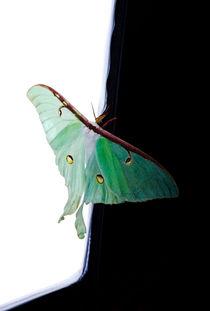 Luna Moth von Ken Howard