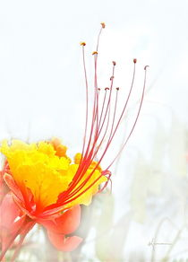 Mexican Bird of Paradise by Kume Bryant