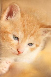 Kittenredfertig