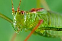 Specked Bush-Cricket by Keld Bach