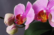 Orchidee by dagino