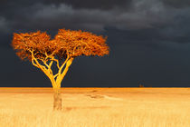 Acacia in the sunshine, before the great rain started von Maggy Meyer