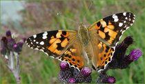 Schmetterling by laubfrosch