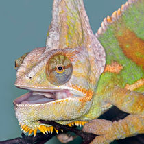 Veiled Chameleon by Keld Bach