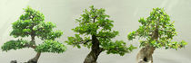 Bonsai  by pahit