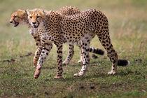 Two Cheetah brothers, Masai Mara, Kenya by Maggy Meyer