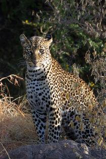 Leopard (Panthera pardus) by Ralph Patzel