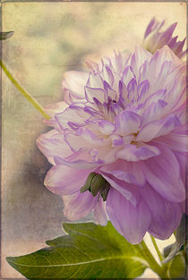 Delightful Dahlia #2. by louise-wagstaff-photography