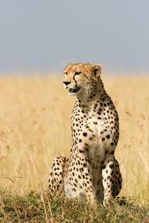 Gepard (Acinonyx jubatus) by Ralph Patzel