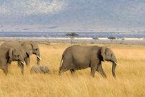 Afrikanische Elefanten by Ralph Patzel