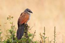 Afrikanischer Kuckuck (Centropus superciliosus) by Ralph Patzel