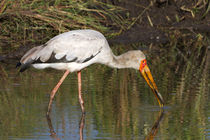 Nimmersatt (Mycteria ibis) by Ralph Patzel