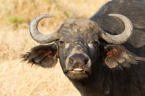 Afrikanischer Büffel (Syncerus caffer) by Ralph Patzel