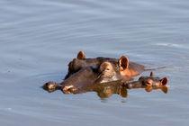 Flusspferde (Hippopotamus amphibius) by Ralph Patzel