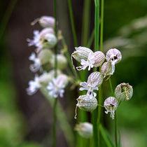 Silene vulgaris by kwiatek